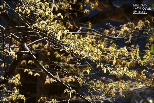 イロハモミジ芽吹き (1)