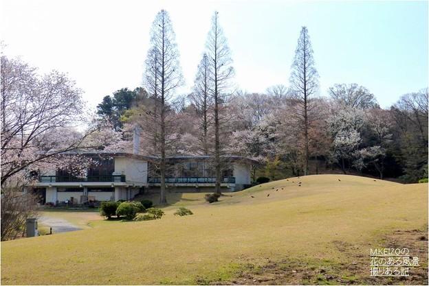 展示館付近桜
