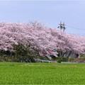 鍋田川堤桜並木 (3)