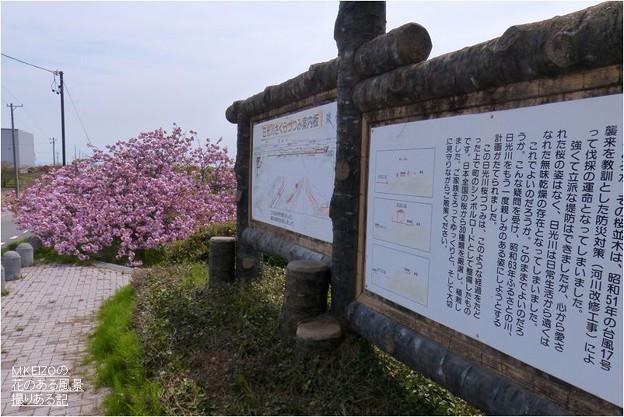 桜堤北端 (5)
