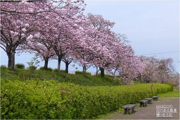 桜堤北端 (9)