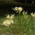 シロバナマンジュシャゲ (2)