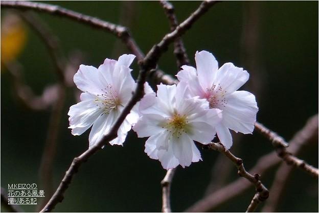 十月桜 (7)