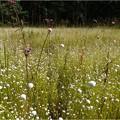 F湿地 (1)シラタマホシグサ
