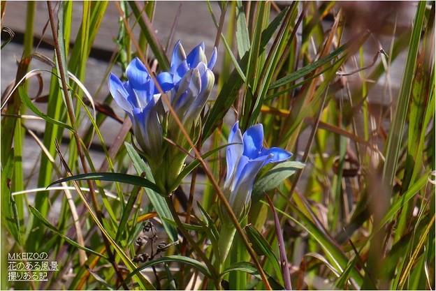 A湿地 (1)ホソバリンドウ