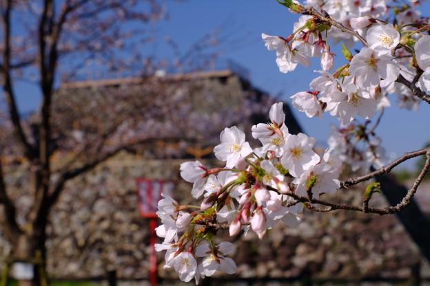 郡山城の桜祭り