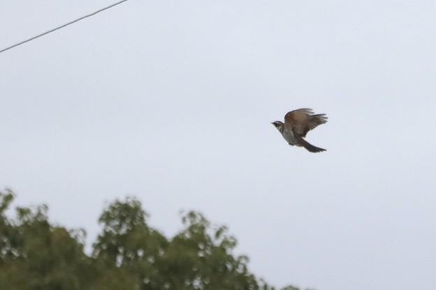 Photos: 飛行中ツグミン~♪