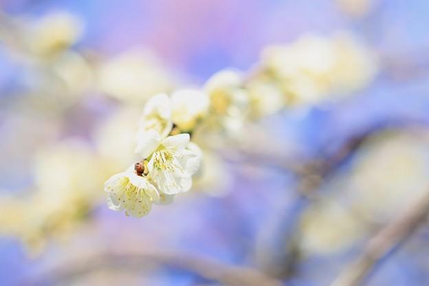 梅の花~♪