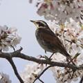 1ツグミン~桜の花と~♪