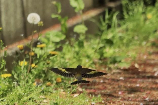 カワラヒワの羽~♪