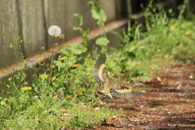 こちらもカワラヒワの羽~♪