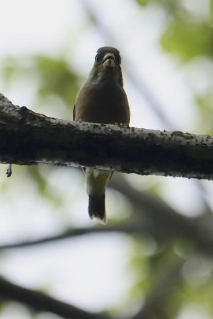 木の上のカワラヒワ~♪