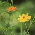 Photos: 黄色いキバナコスモス~♪