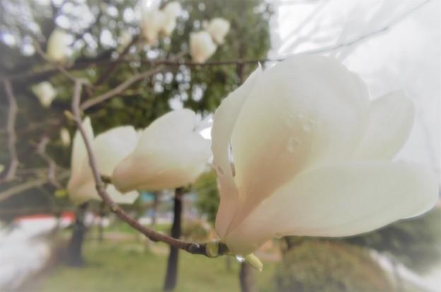 Photos: 雨のハクモクレン