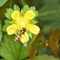 黄色い花にハナアブ