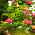Photos: 薔薇2