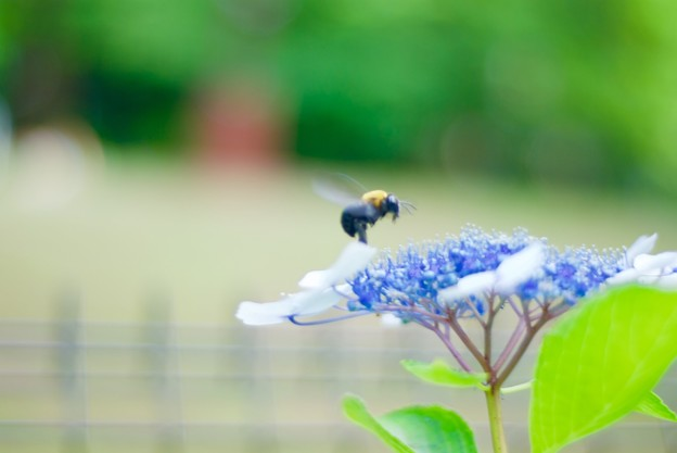 紫陽花クマバチ