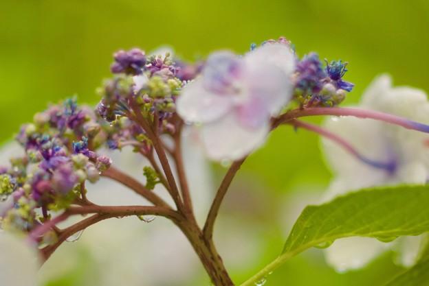 いろんな色のアジサイの花