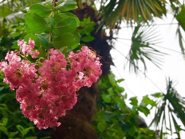 シュロの木の前の百日紅