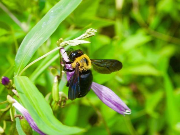 ギボウシにクマバチ