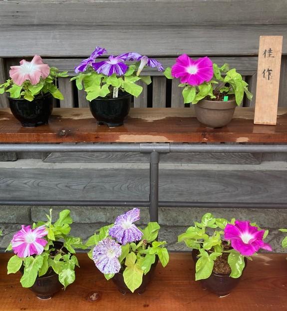 浅間神社の朝顔展