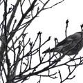 尾張白山山頂で新芽を食べていた小さな鳥(コガラ?) - 6