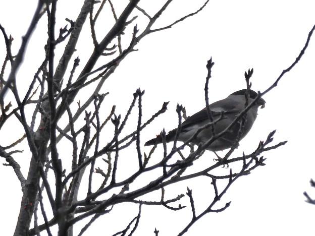 尾張白山山頂で新芽を食べていた小さな鳥(コガラ?) - 9