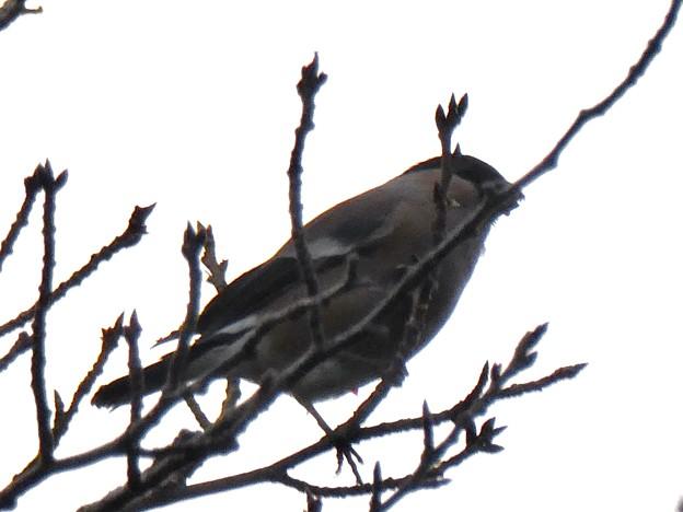 尾張白山山頂で新芽を食べていた小さな鳥(コガラ?) - 10