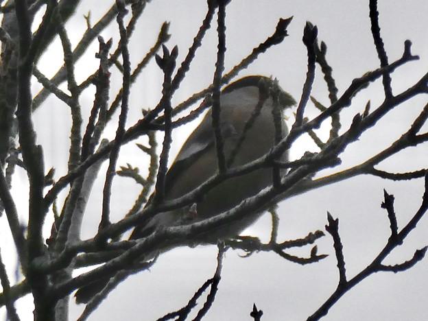 尾張白山山頂で新芽を食べていた小さな鳥(コガラ?) - 2