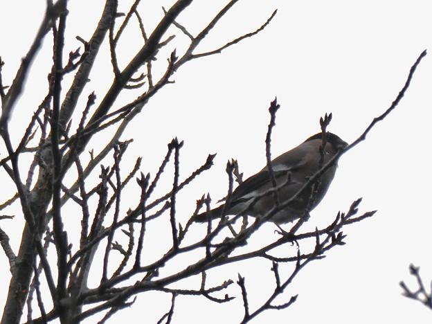 尾張白山山頂で新芽を食べていた小さな鳥(コガラ?) - 11