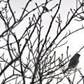尾張白山山頂で新芽を食べていた小さな鳥(コガラ?) - 13