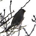 尾張白山山頂で新芽を食べていた小さな鳥(コガラ?) - 14