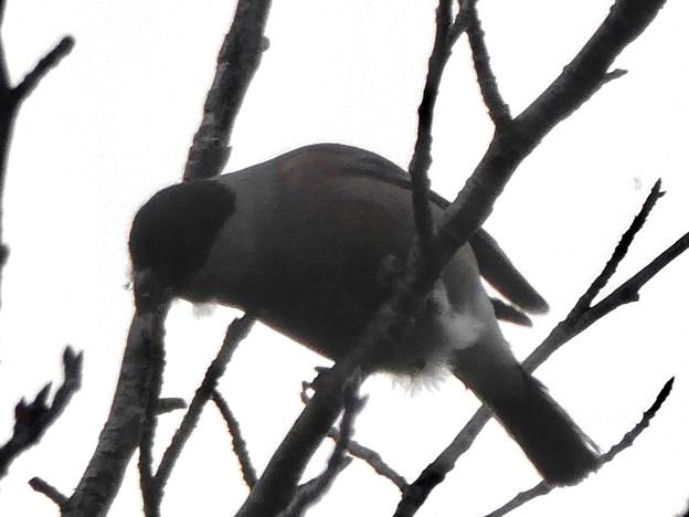 尾張白山山頂で新芽を食べていた小さな鳥(コガラ?) - 16