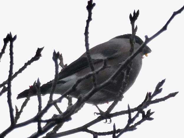 尾張白山山頂で新芽を食べていた小さな鳥(コガラ?) - 7