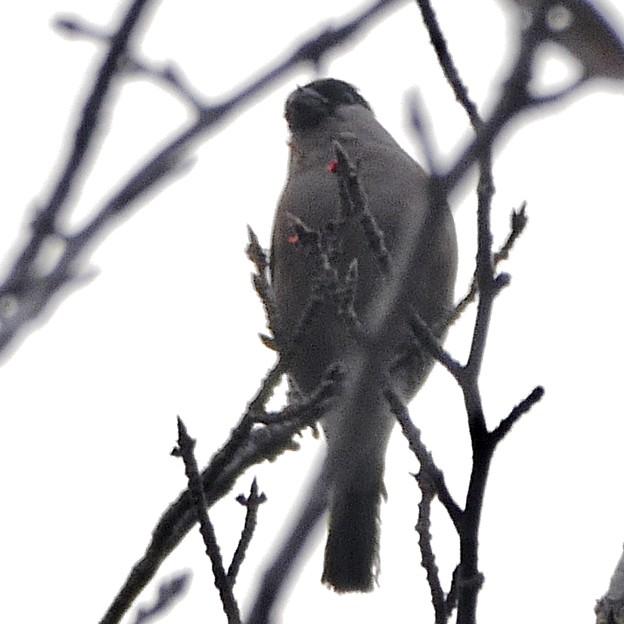 尾張白山山頂で新芽を食べていた小さな鳥(コガラ?) - 20