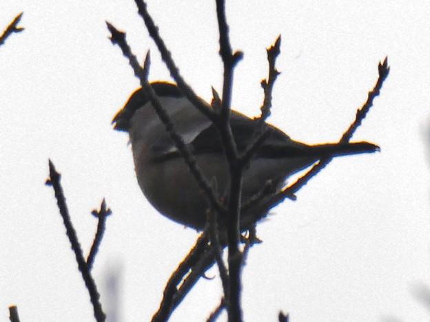 尾張白山山頂で新芽を食べていた小さな鳥(コガラ?) - 21
