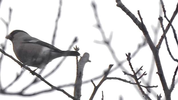 尾張白山山頂で新芽を食べていた小さな鳥(コガラ?) - 23