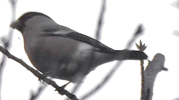 尾張白山山頂で新芽を食べていた小さな鳥(コガラ?) - 24