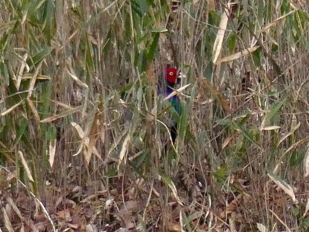 Photos: 草むらに隠れたキジ - 3