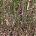 草むらに隠れたキジ - 3
