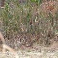 草むらに隠れたキジ - 1