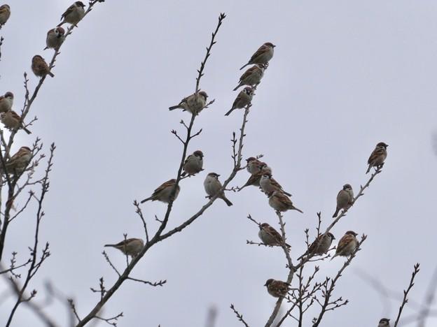 Photos: 小さな木に沢山集まってたスズメ - 2