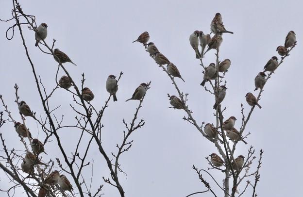 Photos: 小さな木に沢山集まってたスズメ - 5