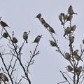 小さな木に沢山集まってたスズメ - 5