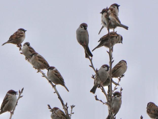 Photos: 小さな木に沢山集まってたスズメ - 9