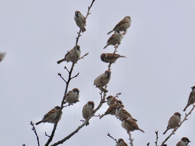 小さな木に沢山集まってたスズメ - 11