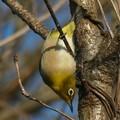 Photos: 逆さ向きに木の枝にぶら下がるメジロ - 2