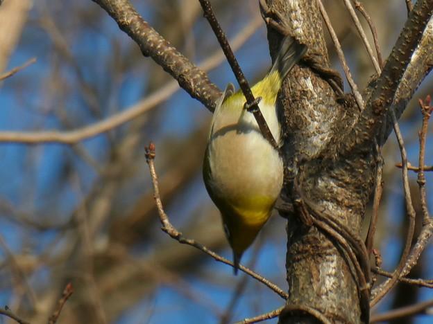 逆さ向きに木の枝にぶら下がるメジロ - 5