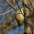 Photos: 逆さ向きに木の枝にぶら下がるメジロ - 5