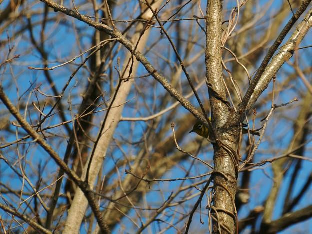 木の向こう側にいるメジロ - 4